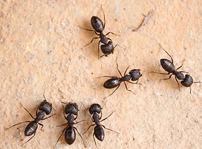 Myror inomhus